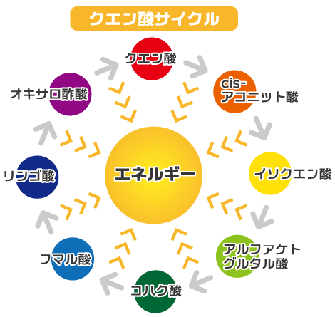 クエン酸サイクル(クエン酸回路、TCA回路) オキサロ酢酸 → クエン酸 → cis-アコニット酸 → イソクエン酸 → アルファケトグルタル酸 → コハク酸 →フマル酸(フマール酸) → リンゴ酸 → オキサロ酢酸(オキザコ酢酸)と8種類の酸に変化し、エネルギーとなって燃えていきます。